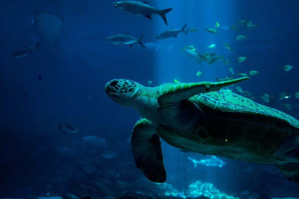 Sea Turtle Icon of Ocean Conservation